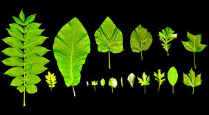 leaf growth tree height limited by physics