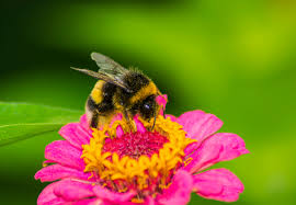 15 buzzworthy facts about bumblebees mental floss