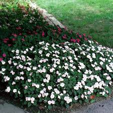 impatiens flowers explore cornell home gardening flower growing guides growing