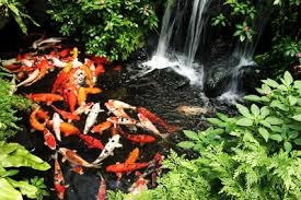 golden garden add koi and goldfish to your pond for a pop of