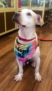boxer dog rescue florida meet our pets 100 abandoned dogs of everglades florida inc