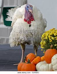 thanksgiving turkey presentation at the white house stock photos