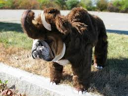 Frenchie Halloween Costume 25 Bulldog Costume Ideas Bull Dog Baby