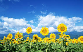 sunflower wallpapers sunflower wallpaper 16061 1440x900 px hdwallsource com