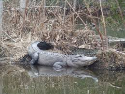 South Carolina wildlife tours images H2o sports alligator tours hilton head attractions jpg