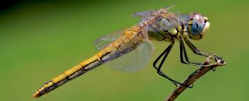 Meaning Of Comfortable by The Meaning Of A Dragonfly What Does A Dragonfly Symbolize