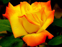 Different Color Roses Rose Wallpaper Android Apps On Google Play
