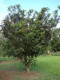 Types Of Garden Trees Starr 061225 2977 Eriobotrya Japonica Jpg 2112 2816 Loquat Tree
