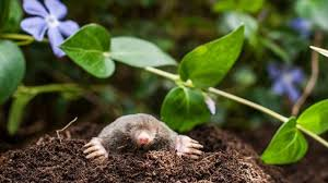 best solutions for lawn mole problem lawn gardening tips youtube