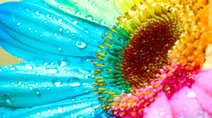 pictures of rainbow flowers