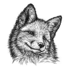 silver fox clipart fox head pencil and in color silver fox