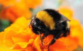 aov wallpaper bumble bee wallpaper wallpapersafari