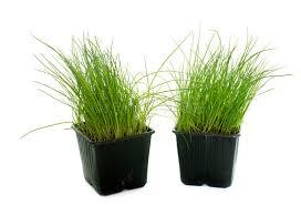 erba cipollina in vaso erba cipollina in vaso fotografia stock immagine di piantatura