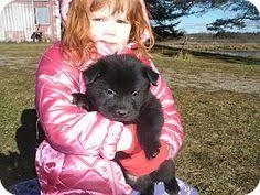 6 week australian shepherd noel u0027s story noel is a 6 week old female australian shepherd