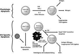 mechanisms of hiv associated lymphocyte apoptosis blood journal