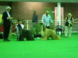 afghan hound national dog show afghan hound national melbourne video clip best in show and