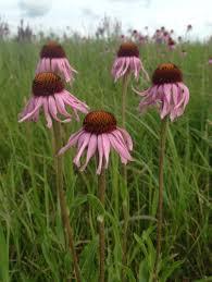 native prairie plants native plants and pollinator friendly habitat sogn valley farm