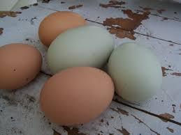 ground eggshells how to feed eggshells to chickens the prairie homestead
