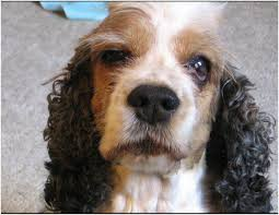 Causes Of Sudden Blindness In Dogs Health Condition Threatens Dog Vision Fidose Of Reality