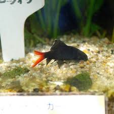 common freshwater sharks for aquariums pethelpful