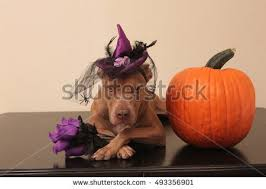 Boy Dog Halloween Costumes Dog Halloween Costume Stock Images Royalty Free Images U0026 Vectors