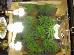 cfl lights for growing weed cfl grow veg to flower lighting and ventilation cannabis community