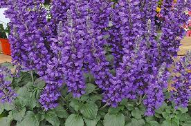 purple flowers top 10 purple plants for your flower garden birds and blooms