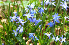 gardening and gardens little blue spring flowers what are they