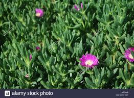 native plants australia pigface carpobrotus virescens a succulent coastal plant native to
