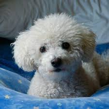 6 month old bichon frise for sale why does a bichon frise cost so much quora