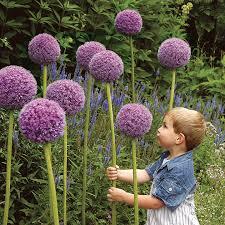 allium bulbs ornamental