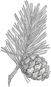 white pine cone 82 best cross stitch pine cone images on pinterest pine cones