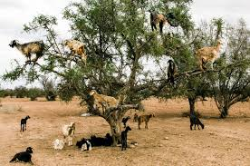 study when a goat climbs an argan tree and eats its fruit what