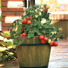 tips for growing container tomatoes park seed journal