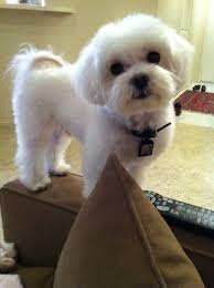 zuchon hair cuts 23 best puppies images on pinterest pets dog haircuts and doggies