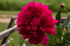 Peonies For Sale Brooks Gardens Peonies U2014 Grower Of Fine Peonies Peony Roots And