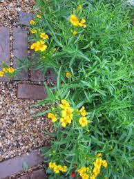 native drought tolerant plants super drought tolerant plants for central texas lisa u0027s landscape