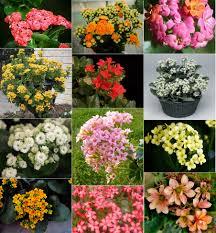 Miniature Indoor Plants by Plants U0026 Flowers Kalanchoe Blossfeldiana