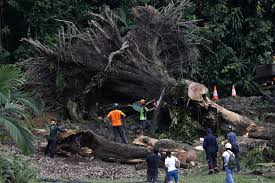 Botanical Gardens In Singapore by Despite Safety Fears Most Want Big Trees To Stay Todayonline