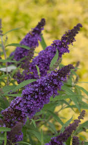 using georgia native plants hummingbird favorites in my garden 13 best butterfly bushes images on pinterest butterfly bush