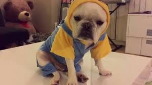 French Bulldog Costumes Halloween U0027ve Dog Minions Costume Rtm