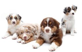 australian shepherd double coat australian shepherd dog breed profile