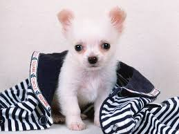 lovely white 30 best white chihuahua dog photos and pictures