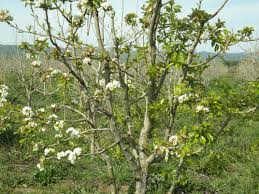 low chilling in 2013 2014 causes fruit tree problems ucce sonoma