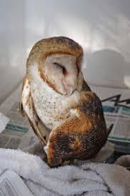 Barn Owl Sounds Barn Owl Sounds Caribbeanfootprint