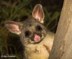 brushtail possum tasmanian possums pinterest animal