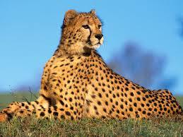 112 best wild cats images on pinterest animals wild animals and