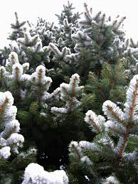 spruce tree blue spruce spring evergreen trees free nature