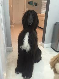 8 month old afghan hound hair goals aww