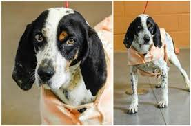 bluetick coonhound rescue georgia bluetick coonhound dogs for adoption in usa